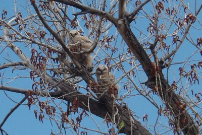 Owlets Along Monument Creek, Colorado Springs