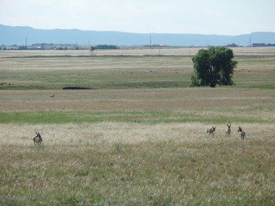 Pronghorn Along US 24
