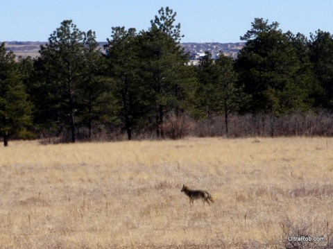 Coyote at the Air Force Academy