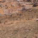 big-horn-sheep-042116-0121