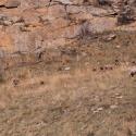 big-horn-sheep-042116-0121