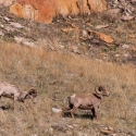 big-horn-sheep-042116-0214