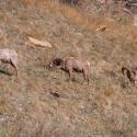 big-horn-sheep-042116-0288