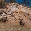 big-horn-sheep-042116-0366