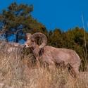 big-horn-sheep-042116-0379