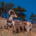 big-horn-sheep-042116-0394