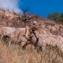 big-horn-sheep-042116-0411
