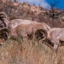 big-horn-sheep-042116-0415