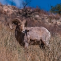 big-horn-sheep-042116-0417