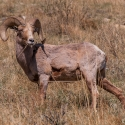 big-horn-sheep-042116-0460