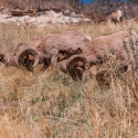 big-horn-sheep-042116-0479