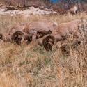 big-horn-sheep-042116-0479